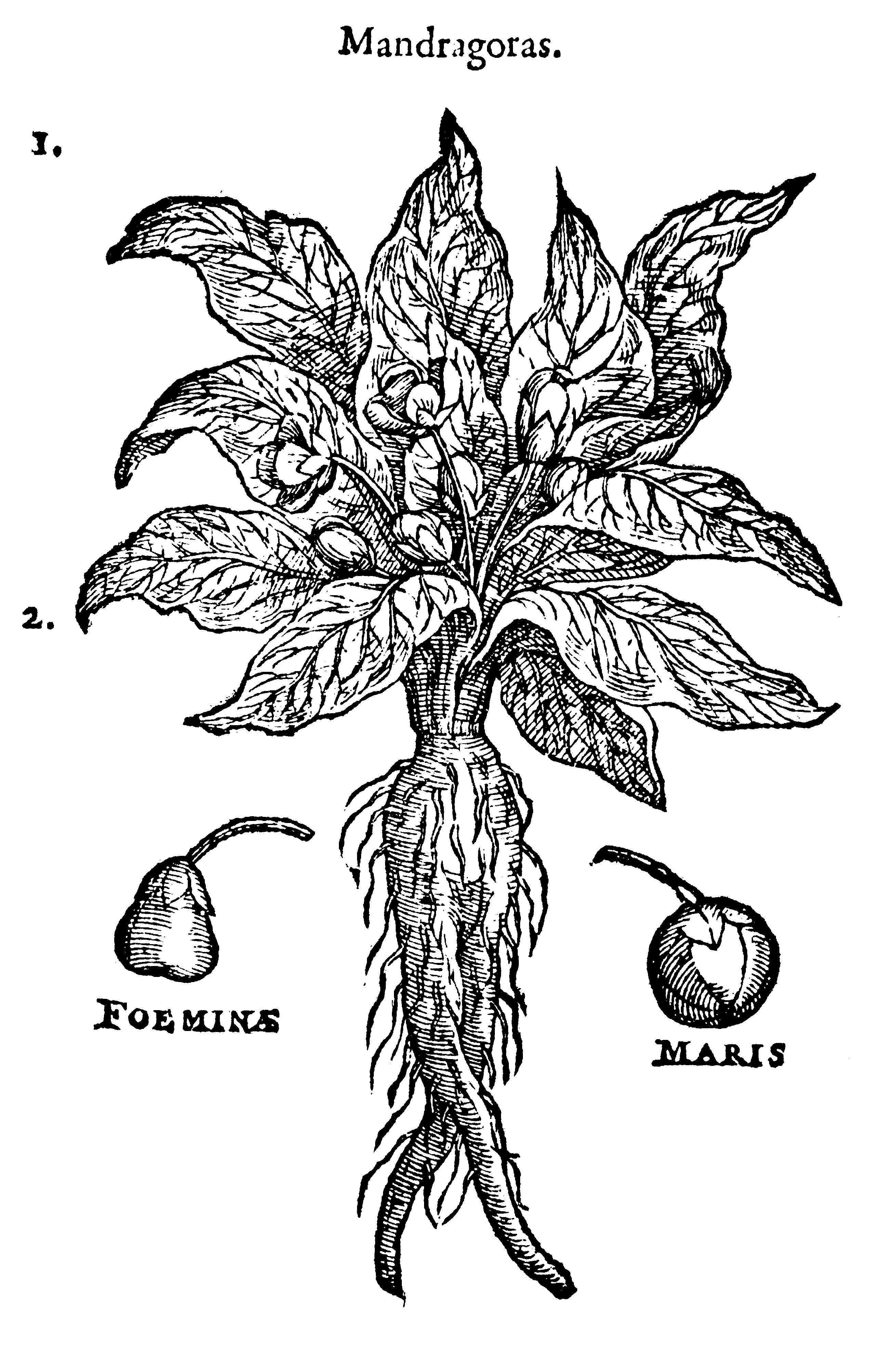 herb - mandrake