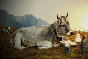 Authority - cow